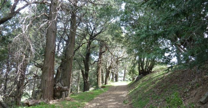 Volcan Trail through cedars
